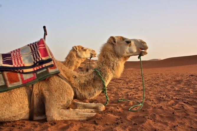 Sahara kamelit Marokko