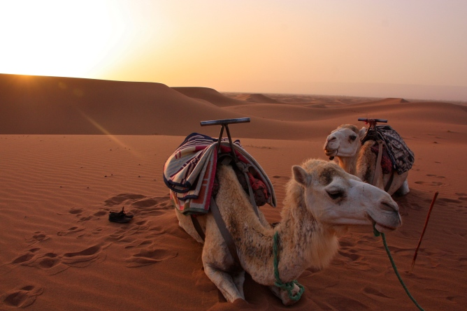 Saharan kamelit Marokko