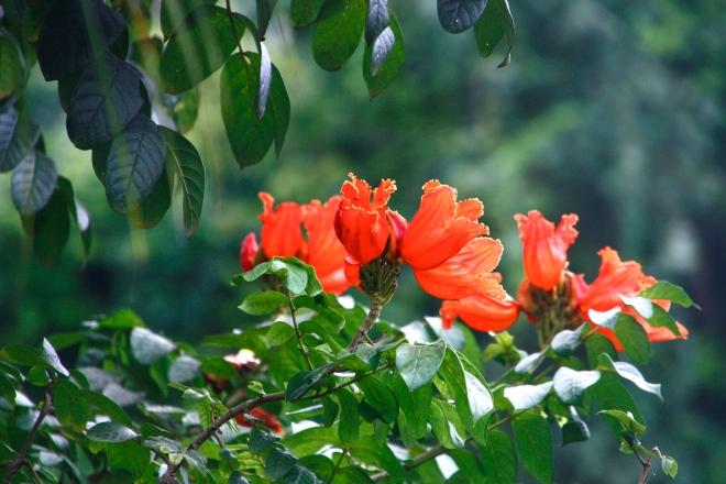 malesian kukat