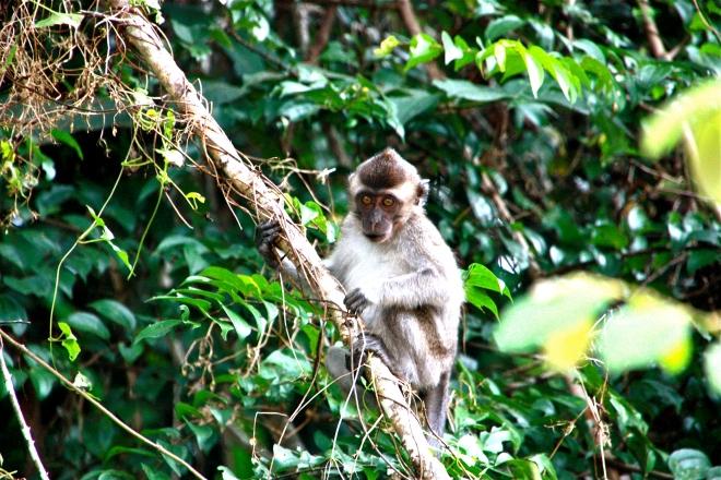 Apina Borneolla