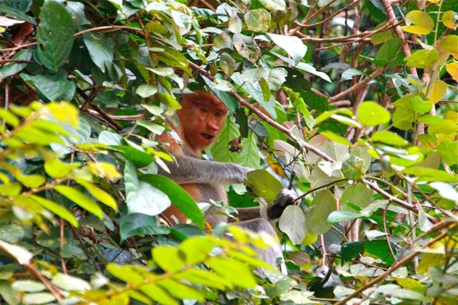 nenäapina Borneo