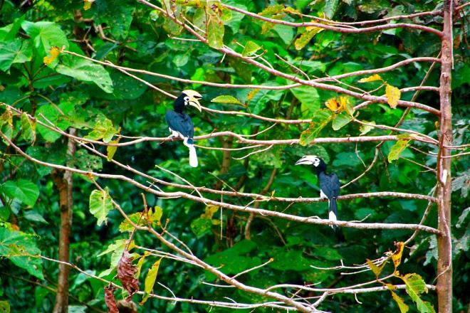 Hornbill Borneo