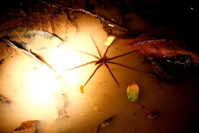 hämähäkki borneolla