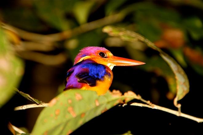 Kingfisher Borneolla