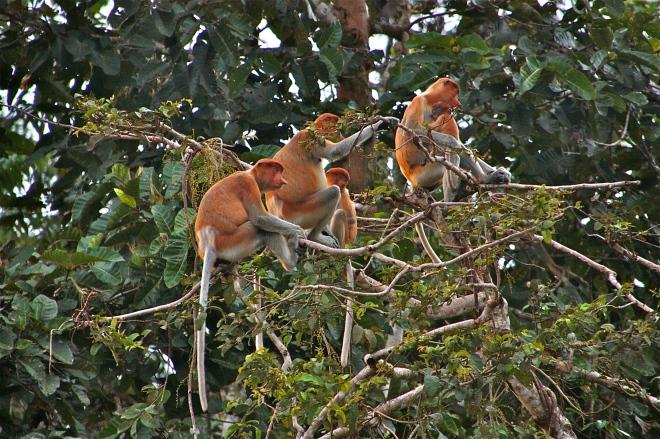 nenäapinat Borneolla