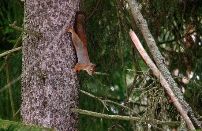 seurasaaren orava