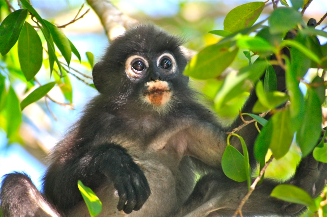 Toinen Langkawin yleisimmistä apinalajeista on. Nämä ovat aika hämmästyneitä, eikös?